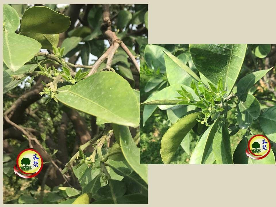 2019文旦樹,使用農滎催花套組後,一星期後穩定來花量