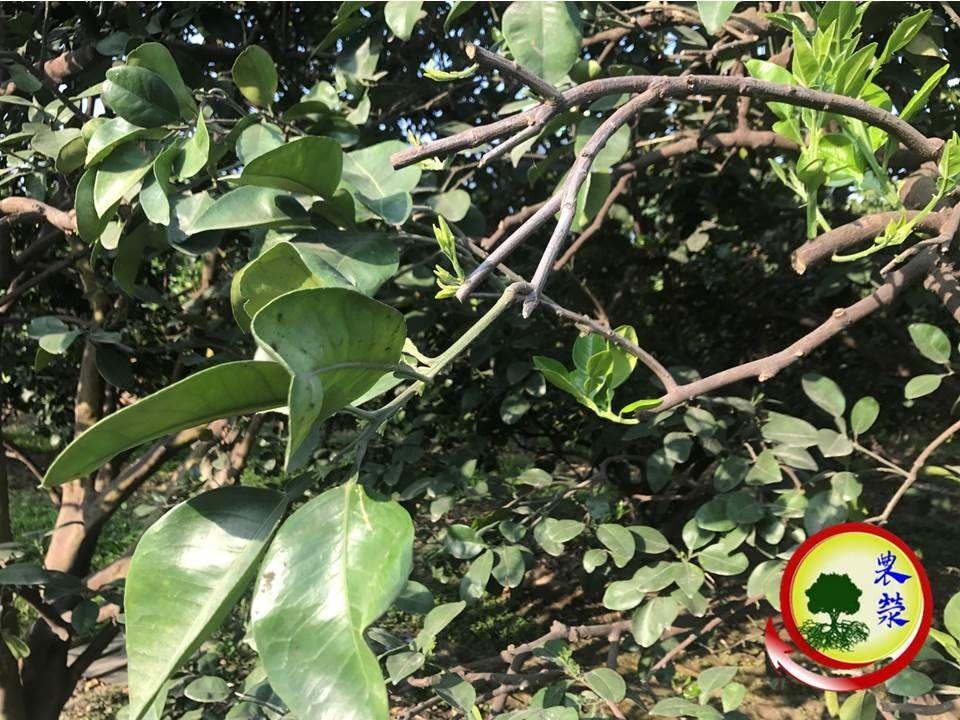 2019年文旦樹回剪較重,展葉較多,花量較少
