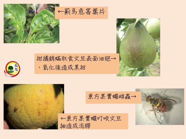 文旦柚常見蟲害圖