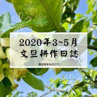2020年3至5月文旦耕作日誌